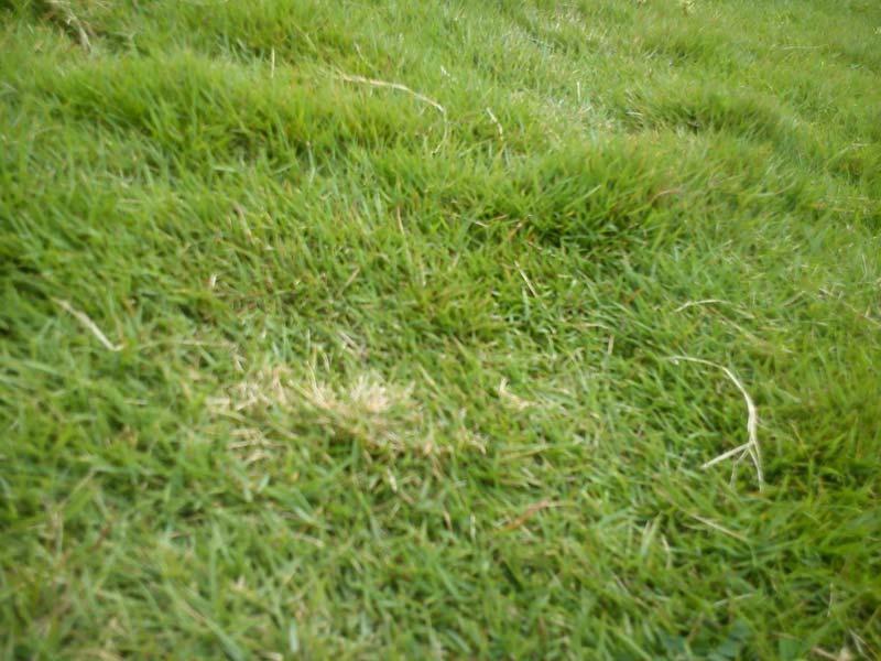 yukon bermuda grass seed