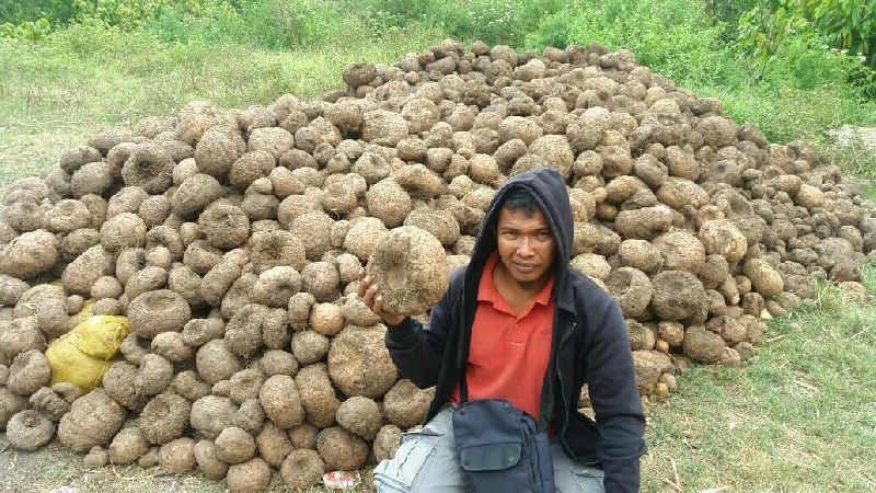 Elephant Foot Yam Manufacturer In Indonesia By Cv Big 4 Company Id 4354733
