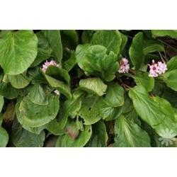 Bergenia Ligulata Powder (HRP0070)