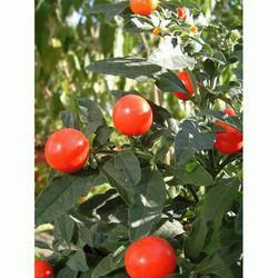 Bhoyringli Solanum Xanthocarpum (HRP0111)
