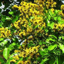 Pterocarpus Maupium Vijaysar (HRP0173)