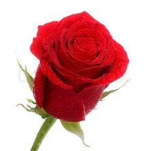 Natural Fresh Red Rose