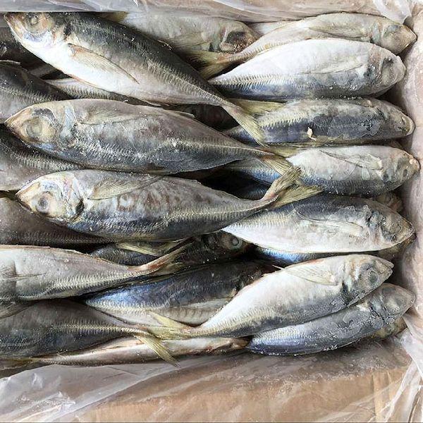 Frozen Horse Mackerel, Pacific Mackerel, Tuna, Trout, Bonito, Tilapia, Squid, Salmon fish (8780148)
