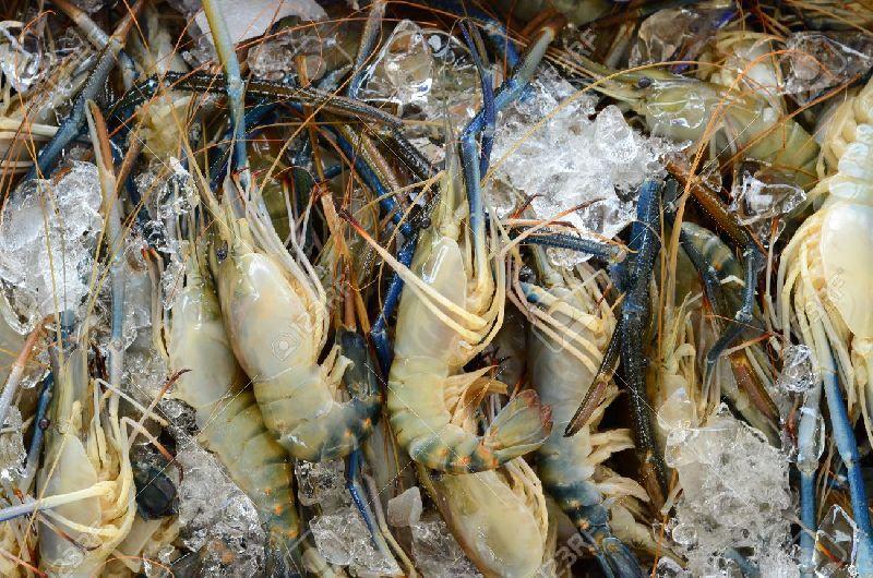 Frozen Shrimps (55422)