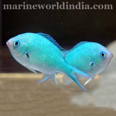 Blue Green Reef Chromis sea fish