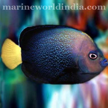 Blue Spotted Angel fish