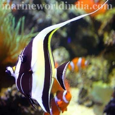 Buy Moorish Idol Fish From Marine World India Id 4332868