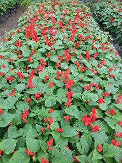 Attractive Zinnias Flowers