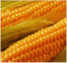 GMO-Yellow Maize