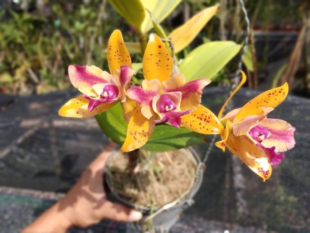 Yellow hybrid Cattaleya plant