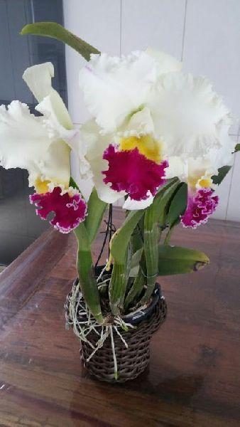 White Cattaleya hybrid Plant