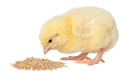 Organic Poultry Feed Manufacturer & Exporters from Guntur