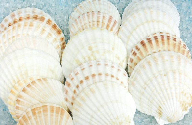 Dried Scallop Shell