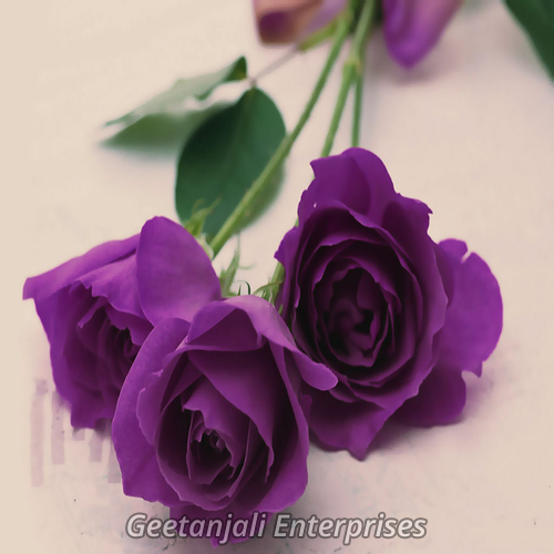 Purple Rose Flower