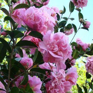 Camellia Flower Oil