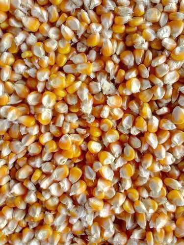 Yellow Corn (Ma759)