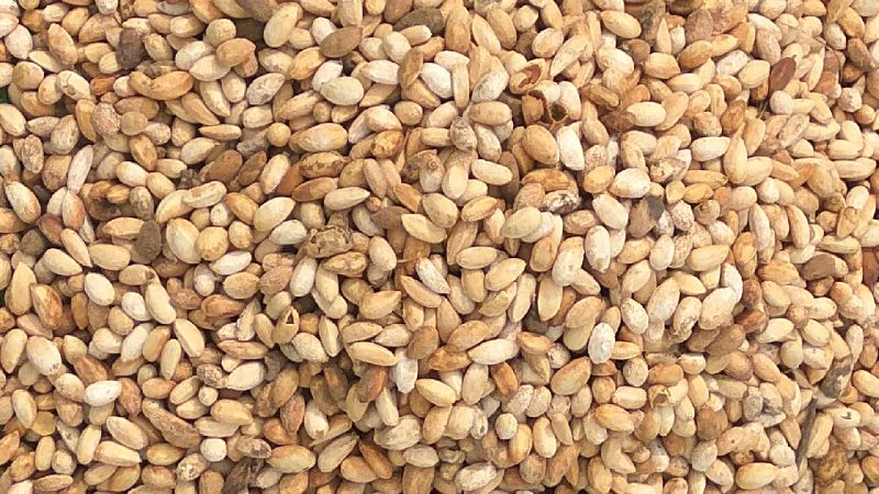 Neem Seeds (1211)