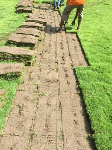 Mexican Carpet Grass