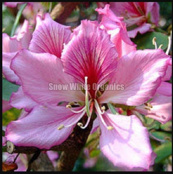 Fresh Organic Kachnar Flower