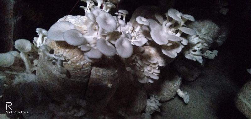 Oyster Mushroom (001)