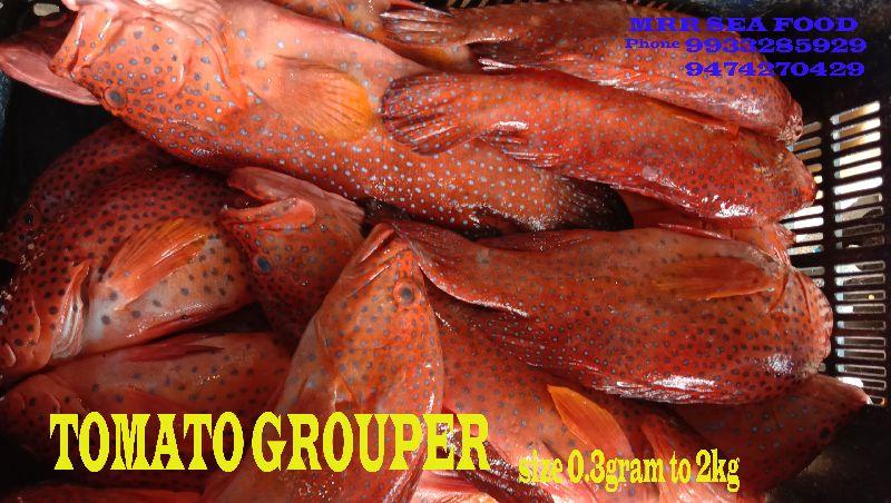 Tomato Grouper Fish