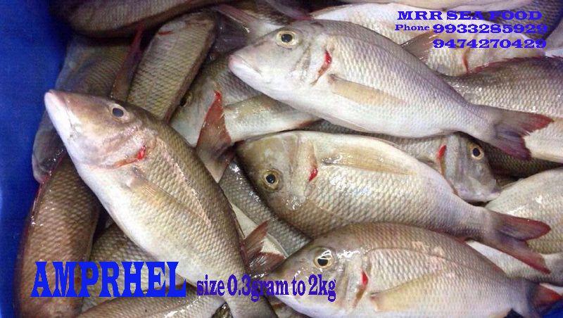 Amprhel Fish