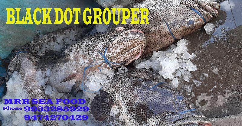 Black Dot Grouper Fish