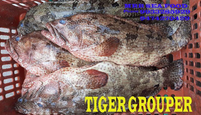Tiger Grouper Fish