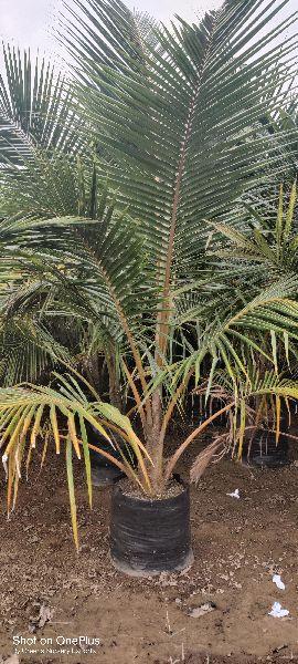 Hybrid Coconut Silon Plant