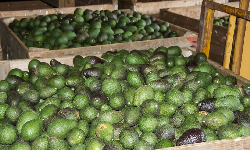 Hass Avocados (4)