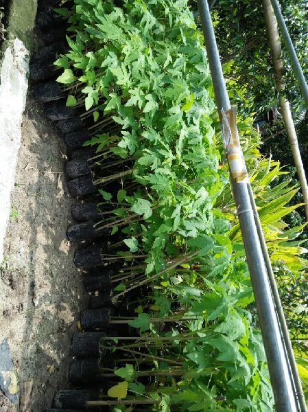 Papaya Hybrid Plant