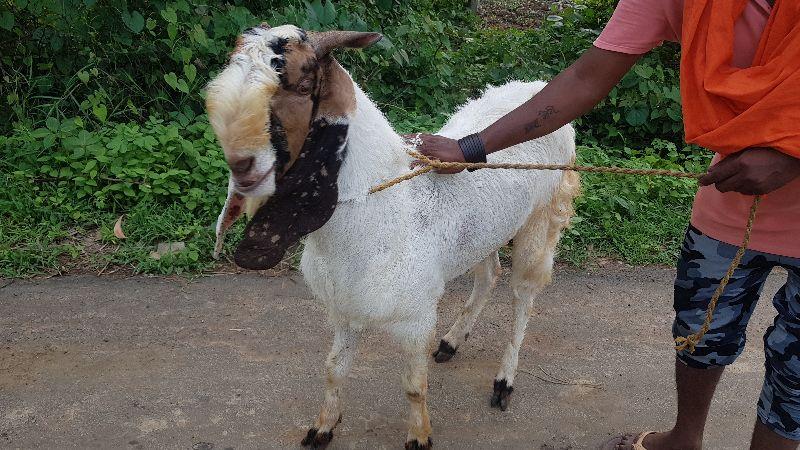 Live Male Goat