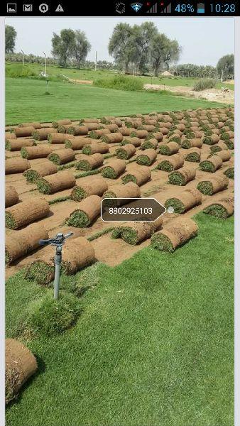 Selection No - 1 Grass