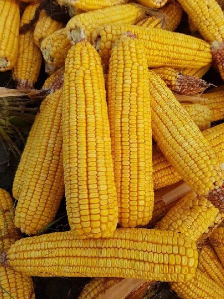 hybrid maize seeds (MH 108)