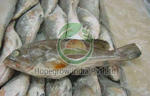 Fresh/Frozen Cod Fish