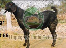Live Beetal Goat