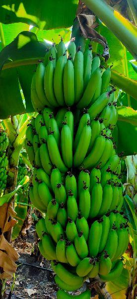 Cavendish Bananas (08039010)