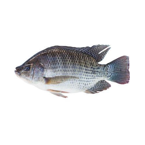 Freshwater Tilapia Fish