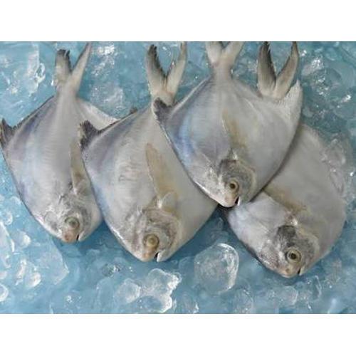 Frozen Pomfret Fish