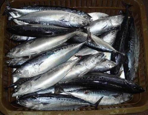 Frozen Tuna Fish