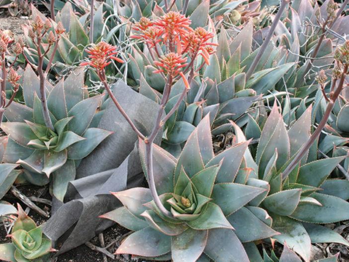 Aloe Striata Hybrid Plant