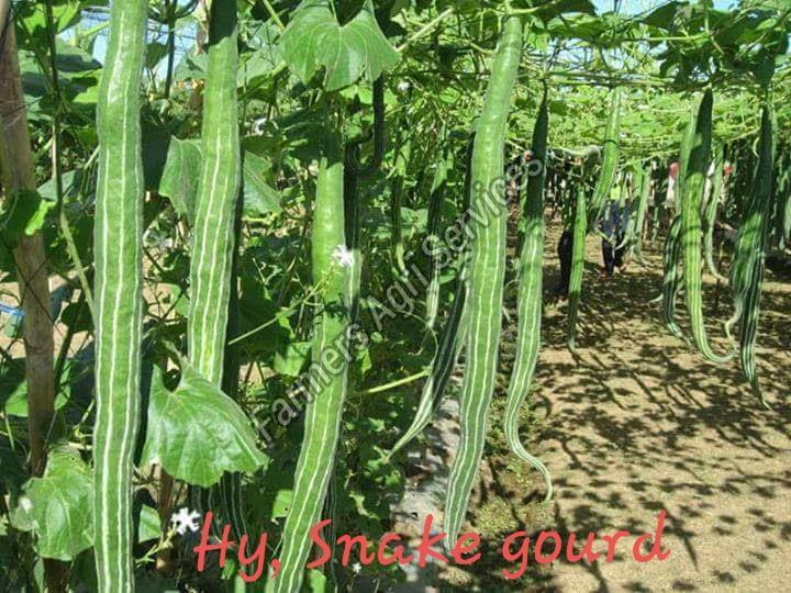 Hybrid Snake Gourd Seeds