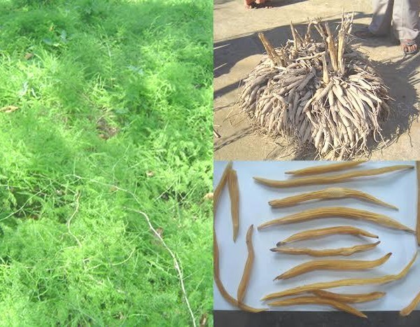 research papers on asparagus racemosus