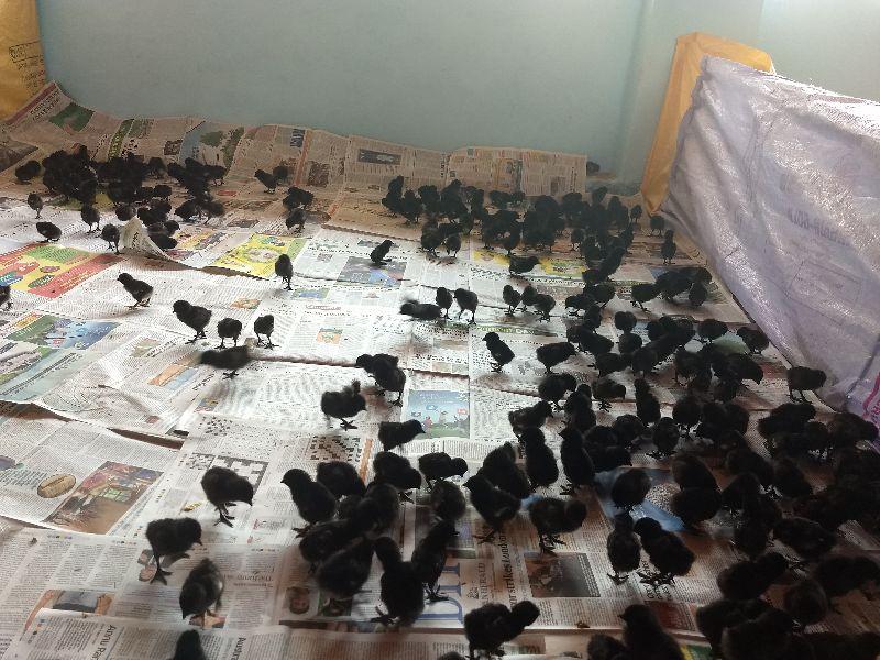 kadaknath chicks (skp2021)