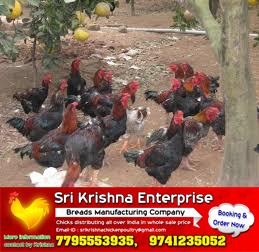 pure village nati koli chicks Manufacturer in Ramanagara Karnataka