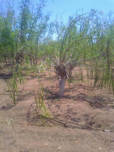 Moringa Oleifera Seeds Manufacturer & Manufacturer from