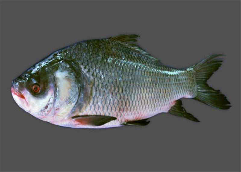 Buy Hatched Katla Fish from Sampurna Hatchery, Bankura