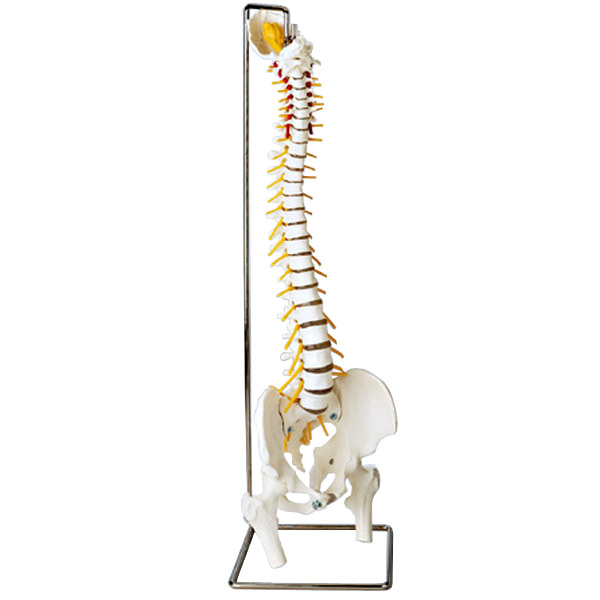 Human Spinal Cord Manufacturer Manufacturer From India Id 1814659