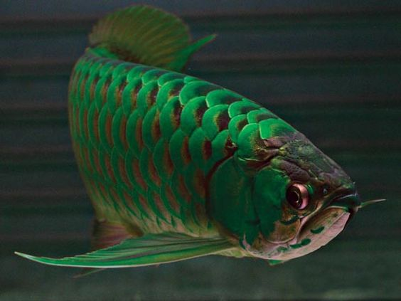 Green arowana fish wholesale suppliers in baltimore brazil for Dragon koi for sale