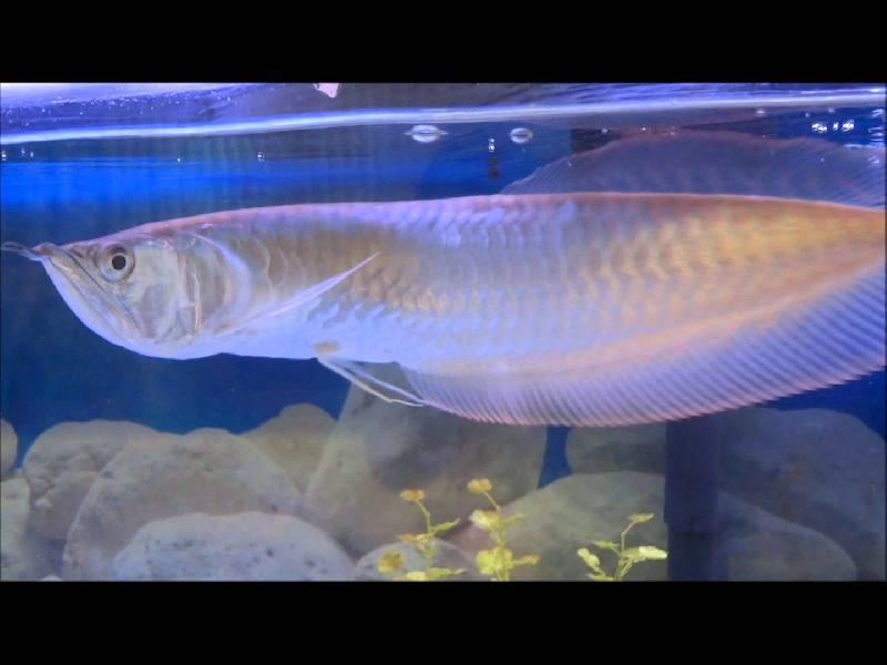 Silver arowana fish wholesale suppliers in baltimore for Arowana fish for sale online